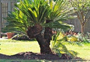 Palm-Tree-600x410-300x205 (1)